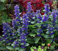 With deep true gentian blue flower spikes Ajuga genevensis is by far the showiest of the species.