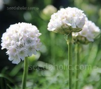 "Armeria maritima ""Alba"" is a beautiful white cultivar and the sister to ""Splendens"" a dark pink variety."