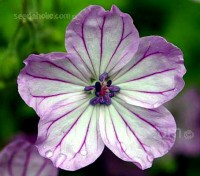 Geranium albanum look fabulous tumbling over a rockery or onto gravel pathways