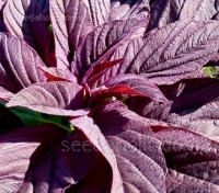 Amaranth 'Red Army'