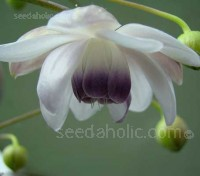 Anemonopsis macrophylla is one of the most beautiful and elegant plants that you could wish for.