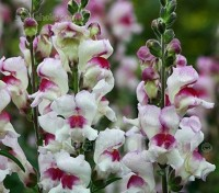 Antirrhinum 'Lucky Lips' blooms with distinctive contrasting bicolour purple-red and white flowers
