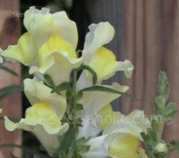 Antirrhinum braun-blanquetii is unusual in that it is one of the few hardy perennial species of snapdragon.