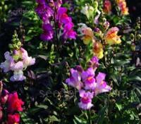 Antirrhinum majus 'Dark Leaved Mix' blooms with a vibrant mix of colours, each with dark purplish bronze foliage.