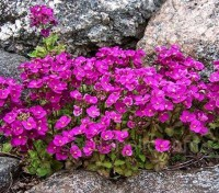 Arabis alpina subsp. caucasica 'Grandiflora Rosea'