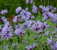 Asperula orientalis, commonly known as Blue Woodruff is a charming little plant.