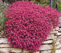 Aubrieta 'Royal Red' forms a low cushion of evergreen leaves, smothered by red flowers for several weeks.