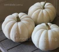 Baby Boo is a charming, all-white, miniature pumpkin.