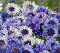 'Classic Fantastic' blooms in a mixture of captivating blue shades, ranging from light heavenly blue to dark blue.