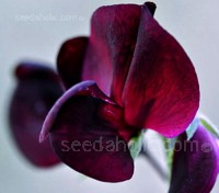 Lathyrus 'Black Knight' is very handsome dark purple-maroon heirloom sweet pea
