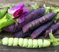 Pea 'Blauwschokker' is a beautiful old European Heirloom variety.