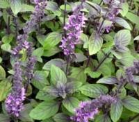 Blooming earlier than most varieties, the dark purple flower stems produce dense spikes of dark purple bracts with light purple flowers.