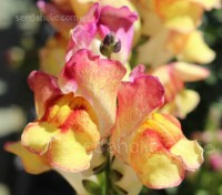 Antirrhinum 'Brighton Rock', some blooms are delicately marbled while others are speckled and striped.