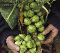 Trafalgar it is one of the best tasting and sweetest varieties available and a good variety for Christmas sprouts.