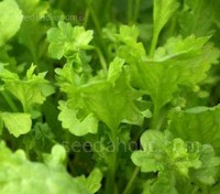 Cress 'Bubbles' is a unique cress variety that is bright green in colour with ruffled, blistered leaves