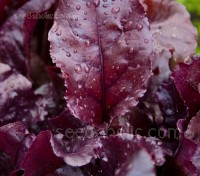 Beet 'Bulls Blood' is a magnificent dual purpose variety known for its deep red coloured leaves.
