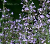 Calamintha is a very attractive bushy, perennial that should be in every garden.