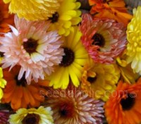 Calendula 'Cut Flower Mix' is a specially selected mix of colours and types, each with long stems designed for cutting.