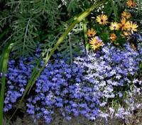 Lobelia 'Cambridge Blue' has many fans who love its soft, subtle, light blue flowers.