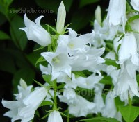 A stately plant of distinction, Campanula latifolia var. macrantha 'Alba'  is an outstanding plant for the border