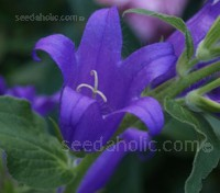 A stately plant of distinction, Campanula latifolia var. macrantha 'Amethyst'  is an outstanding plant for the border