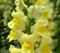 Antirrhinum 'Canary Bird' provides months of deep yellow flowers on strong stems that are great for cutting.