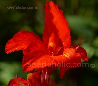 Canna indica is a superb tall strain with gorgeous foliage and bright vermillion blooms.