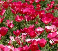 The deep-rose satiny blooms of Eschscholzia californica 'Carmine King' are borne individually on long stalks.