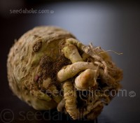 Celeriac 'Giant Prague'