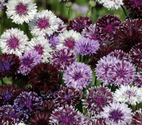 'Classic Magic' produces blooms from light mauve with a dark centre to flowers that are close to black with white tip on each petal.