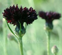 The flowers of Black ball are a lovely rich dark-chocolate hue, almost black on cloudy days.