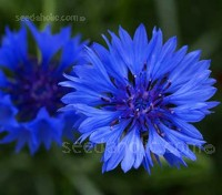 "Centaurea cyanus ""Blue Boy"" is a very fine, old variety."
