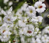 Gypsophila elegans 'Covent Garden'