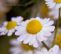 Chamaemelum nobile, the perennial Roman Chamomile. Use for both scented chamomile lawns and for home remedy uses