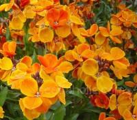 Erysimum cheiri, Cheiranthus cheiri,  'Orange Bedder'