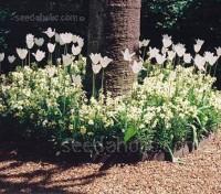 Erysimum cheiri, Cheiranthus Cheiri 'White Dame'