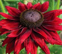Rudbeckia Cherry Brandy produces a mass of spectacular cherry-coloured blooms all summer long.