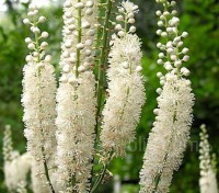 Cimicifuga racemosa var. cordifolia displays impressive long racemes of chalky-white blooms that resemble fluffy candles.
