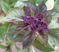 Cinnamon Basil initially it very much resembles sweet basil, but with a cooler flavour.