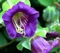Cobaea scandens is an impressive climber and is one of the fastest-growing and most trouble-free vines you will ever grow.