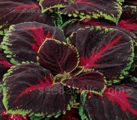 Kong Red - Kong is grown for its outstanding foliage colours