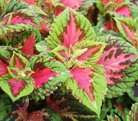 Coleus 'Kong Salmon-Pink' have huge leaves, coral pink in the centre and edged in bright green.