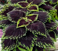 Coleus 'Kong Scarlet' has huge leaves that are dark red with veins trailing out to chartreuse edges.