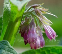 To the organic gardener, Comfrey is invaluable. It's easy to grow, easy to use and incredibly beneficial to the garden.