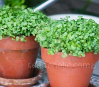 You only need water, a little warmth and light, and cress will grow pretty much anywhere. You don't even need a garden.