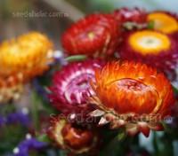 Helichrysum bracteatum 'Copper Red'