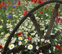 Corn chamomile are lovely plants for a sunny well-drained border.