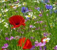 A collection of five different species of native wildflower that were once a common sight in cornfields and meadows.