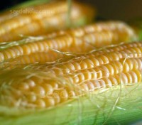 Sweetcorn Lark F1 is a mid-season variety which performs better in cooler conditions than many other varieties.