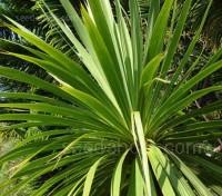 Cordyline australis 'Cornish Palm'